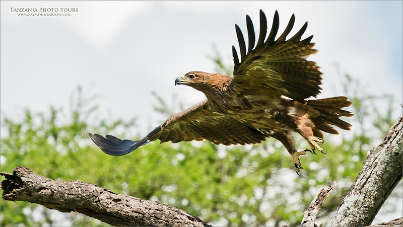 Superb raptor performing a lift off!<br /> <br /> A Tawny eagle in Tanzania shares its beauty as the massive bird lifts off to hunt in a new area.<br /> <br /> We saw several of these birds, and had a great time watching and learning about how they survive eating left overs from the lions.<br /> <br /> Tanzania adventures!<br /> <br /> Newfoundland this August 2020!<br /> <br /> ray@raymondbarlow.com