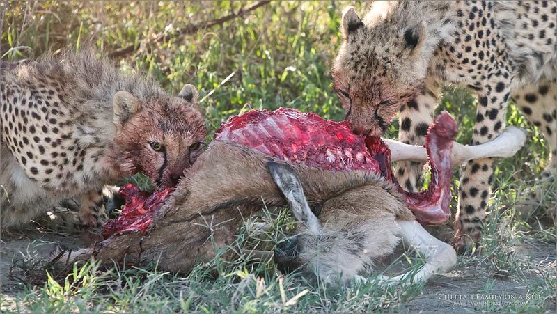 RAY_7427 Cheetah Family on a Kill 1200 web