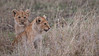 Lion Cubs<br /> RJB Tanzania, Africa Tours<br /> <br /> ray@raymondbarlow.com<br /> 1/200s f/4.0 at 400.0mm iso400