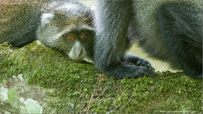 DSC_1882 Blue Monkeys 1200 web