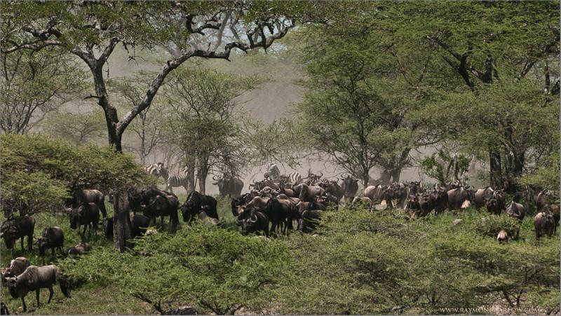 _DSC3922 Wildebeest Migration 1200 web