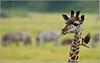 Giraffe with a Friend!