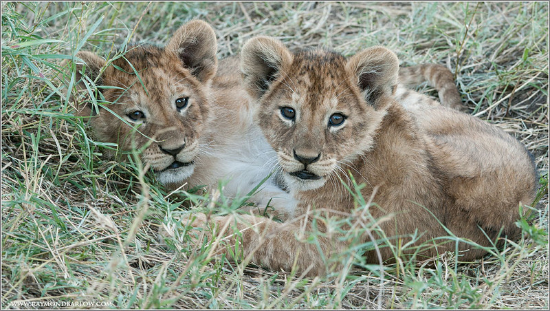 Lion Cubs in Tanzania's Serengeti
