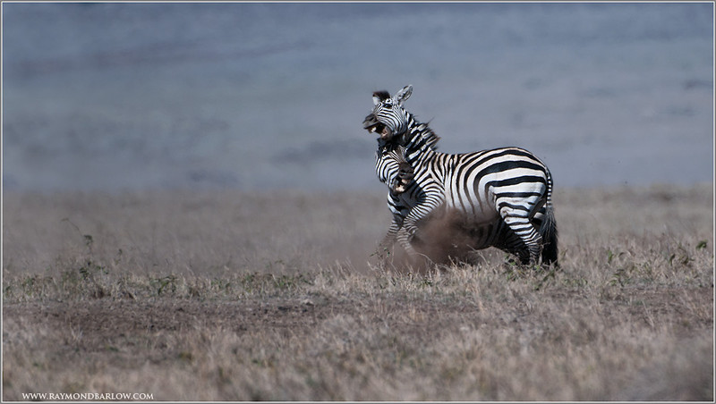 Zebra in Battle