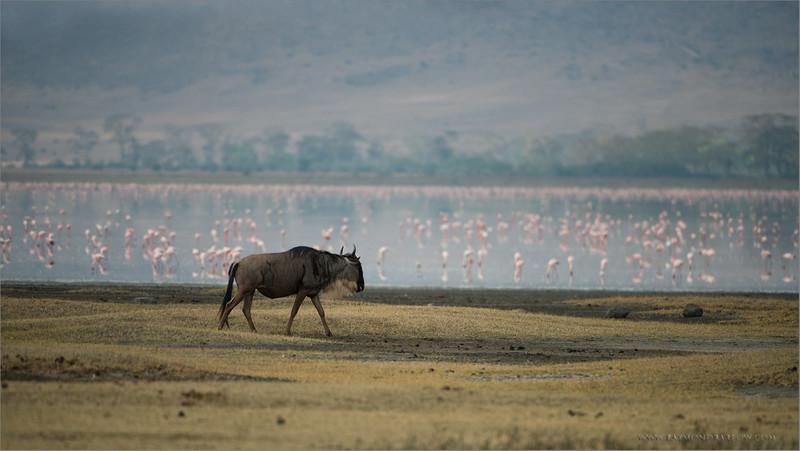"Wildebeest and Flamingos<br /> RJB Tanzania, Africa Tours<br /> Nikon D800 ,Nikkor 200-400mm f/4G ED-IF AF-S VR<br /> 1/4000s f/4.0 at 400.0mm iso400<br />  <a href=""http://www.raymondbarlow.com"">http://www.raymondbarlow.com</a>"