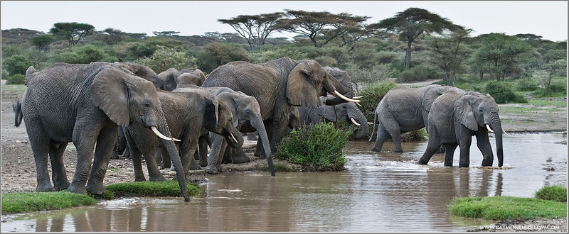Elephants out for a Drink