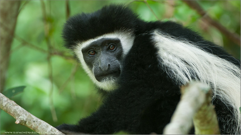 DSC_1690 Black and White Colobus Monkey 2560 x 1440 1200 web