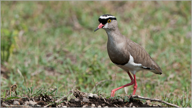White Crowned Plover, Tanzania