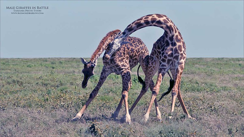 Battle of the Giants!<br /> <br /> 2 male Giraffe fight for dominance.<br /> <br /> Really interesting to watch, I wish I had of done a video!  Amazing how they seem completely unable to defend themselves, as the stand there and beat on each other!<br /> <br /> This fight lasted a good 10 minutes, and we left them to decide who is toughest.  From here, they will venture out to the females, and enjoy the fruits of their efforts.<br /> <br /> Awesome nature.