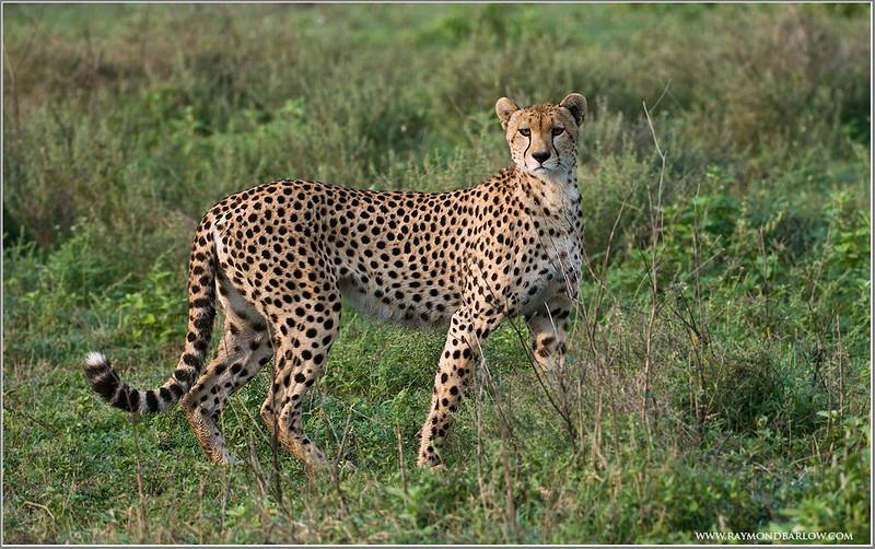 Cheetah Hunting!