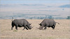 Black Rhinos in Battle