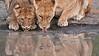 Thirsty Lions<br /> Raymond Barlow Photo Tours to Tanzania Wildlife and Nature<br /> New tours - August 2017 - February 2018<br /> <br /> ray@raymondbarlow.com<br /> Nikon D300 ,Nikkor 200-400mm f/4G ED-IF AF-S VR<br /> 1/160s f/4.0 at 400.0mm iso400