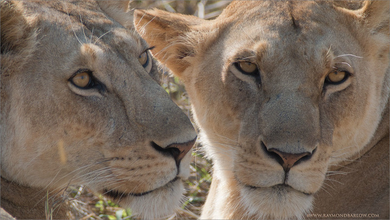 "A pair of Lions<br /> <br /> Guarding their cubs! <br /> <br /> We had an amazing experience during this tour as these two lions hunted gazelle, and made a kill right in front of our eyes.<br /> <br /> Mothers with young need to eat at least every 2 days, to keep up with the milk supply for the first 6 - 8 weeks of their cubs life.<br /> <br /> A hunt and a kill is anyone's dream catch in Africa, pure wild animals, no fences anywhere, all natural!<br /> <br /> Taken with the Swarovski Spotting Scope, STX with a 65mm lens, = 1200mm effective focal length.<br /> <br /> ray@raymondbarlow.com<br /> Tanzania Tours<br /> <a href=""http://raymondbarlowworkshops.blogspot.ca/"">http://raymondbarlowworkshops.blogspot.ca/</a><br /> <br /> Female Lions<br /> RJB Tanzania, Africa Tours<br />  <a href=""http://www.raymondbarlow.com"">http://www.raymondbarlow.com</a><br /> Canon EOS 70D ,Swarovski Spotting Scope 65mm = 1200mm Eff.<br /> 1/250s f11.5 iso400"