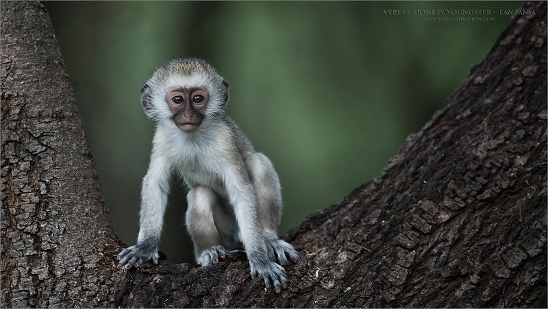 Vervet Monkey in Tanzania<br /> Tanzania, Africa<br /> <br /> ray@raymondbarlow.com<br /> Nikon D850 ,Nikkor 200-400mm f/4G ED-IF AF-S VR<br /> 1/500s f/4.0 at 400.0mm iso800