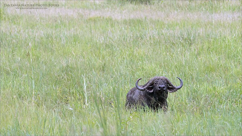 A very handsome Cape buffalo!<br /> <br /> There was so much green grass to graze on this trip, as the Tarangire NP was drenched with rain over the last few months.  (before we arrived!)<br /> <br /> We were fortunate, no issues at all.  No rain, and no mud bogs!  It was easy driving, and excellent sightings.  Everyone in the safari truck contributed to pointing out so many species.<br /> <br /> Even Snakes!  A python, and a Black mamba!  Awesomeness! <br /> <br /> Not great photos of them, just snapshots as we left them alone in their environment.  So the great range in species was interesting regardless. <br /> <br /> Incredible trip to say the least!<br /> <br /> Thanks to all of my awesome guests.