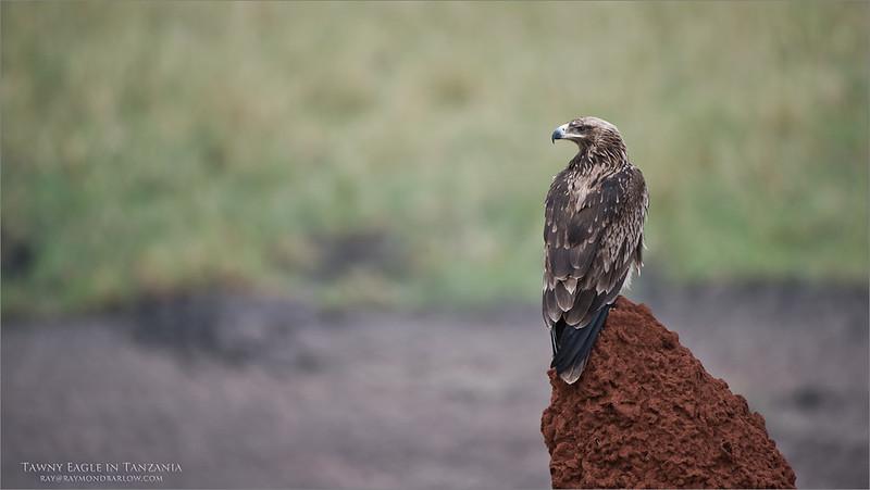 Tawny Eagle Hunting in Tarangire National Park<br /> Raymond Barlow Photo Tours to Tanzania Wildlife and Nature<br /> <br /> ray@raymondbarlow.com<br /> Nikon D810 ,Nikkor 200-400mm f/4G ED-IF AF-S VR<br /> 1/1250s f/4.0 at 400.0mm iso400