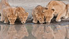 Lions in for a Drink