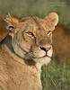 Beautiful Female!<br /> <br /> Posing of the camera in sweet evening light.<br /> <br /> What a treat!  And her mating partner in behind here considering his next maneuver!<br /> <br /> Love lions in Tanzania!