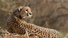 IMG_6011 Cheetah 1200 web