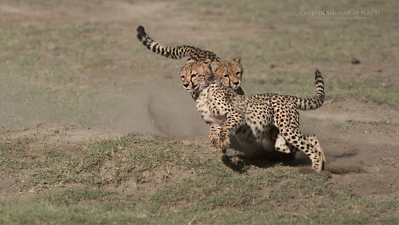 Cheetahs at Play Series 12 Shots  - Image 11 of 12
