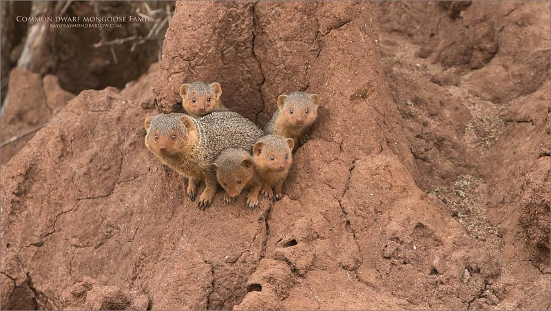 Common Dwarf Mongoose Family<br /> Raymond Barlow Photo Tours to Tanzania Wildlife and Nature<br /> <br /> ray@raymondbarlow.com<br /> Nikon D850 ,Nikkor 200-400mm f/4G ED-IF AF-S VR<br /> 1/200s f/5.6 at 400.0mm iso1000