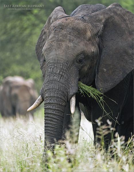7R405983 Elephant with a meal 700 x 800 x 1200 web
