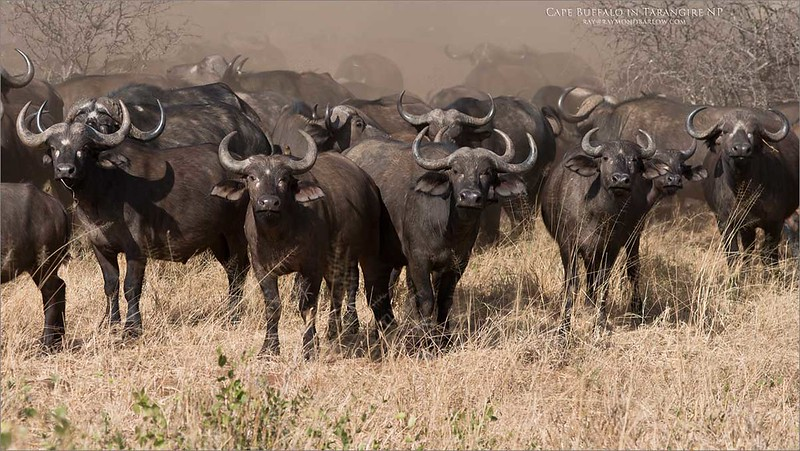 "A Cloud of Dust - Cape Buffalo<br /> Raymond Barlow Photo Tours to Tanzania Wildlife and Nature<br /> <br /> ray@raymondbarlow.com<br />  <a href=""http://www.raymondbarlow.com"">http://www.raymondbarlow.com</a><br /> Nikon D800 ,Nikkor 80-200mm f/2.8D ED AF<br /> 1/3200s f/5.0 at 135.0mm iso500"
