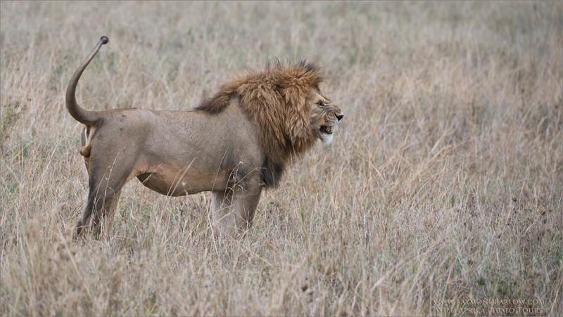 Angry Lion - Tanzania Photo Tours
