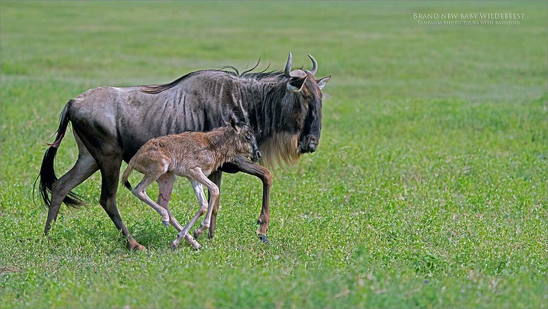 Brand new Wildebeest calf!  <br /> <br /> This young one is probably only a few hours old, still wet, and learning to run. <br /> <br /> The youngest of the herd needs to learn how to move fast, as there are so many predators around.  If a lion or cheetah start chasing them down, the young one will not keep up, and food will be served to the cat, or even a hyena.<br /> <br /> We came into an entire herd of females with young calf's, this was the youngest so far as we could.  Fortunately, they decided to tag along with us, possibly looking for security.<br /> <br /> Join me for awesome and amazing sites of real nature.<br /> <br /> August Tanzania coming soon.  Mara River crossing on the agenda!<br /> <br /> Love Africa.