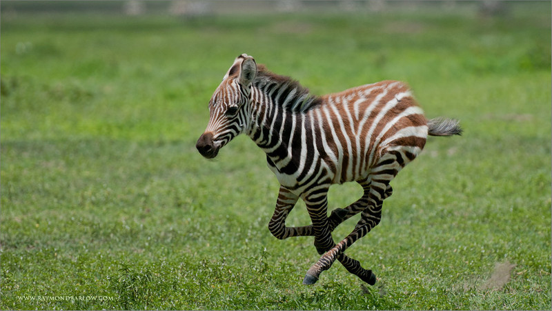 Young Zebra on the Run
