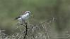 _DSC7228 Falcon in Tanzania 1200 web