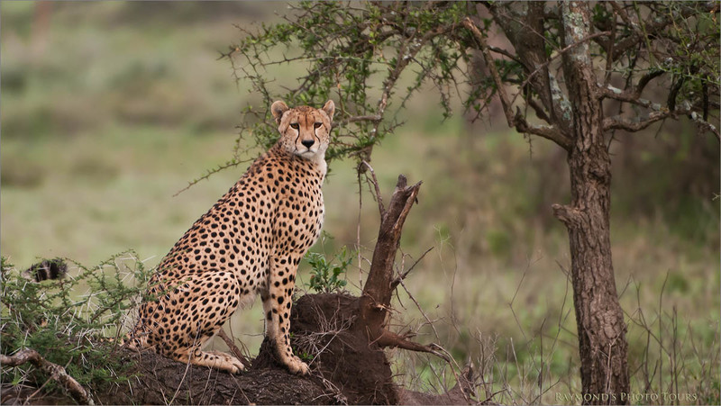 """Cheetah Hunting<br /> Raymond Barlow Photo Tours to Tanzania Wildlife and Nature<br /> <br />  <a href=""""http://www.raymondbarlow.com"""">http://www.raymondbarlow.com</a><br /> Nikon D300 ,Nikkor 200-400mm f/4G ED-IF AF-S VR<br /> 1/400s f/4.0 at 400.0mm iso400"""
