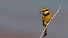DSC_3246 Little Bee Eater 1200 web