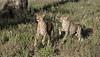 RAY_7325 Cheetahs on the Run 1200 web