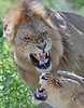 Nasty Lions<br /> <br /> Maybe they are angry because it hurts?<br /> <br /> Anyhow, we must have watched 15 mating's, then enough is enough!<br /> <br /> Fun for us to see, but we know there is other stuff out there to photograph.  This was a shot I have been trying to catch for many tours.  Face on snarls.  The environment could have been better, and more depth of field (if I was thinking) would have been nice!<br /> <br /> Next time!<br /> <br /> I am happy that his eyes were just a little open, so we could get a better grasp on the expression.<br /> <br /> Good fun.<br /> <br /> Thanks for looking.