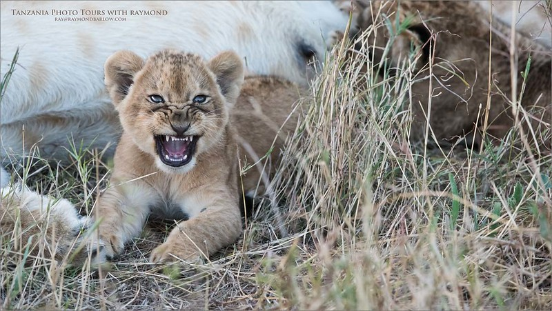 Lion Cub Snarl<br /> Raymond Barlow Photo Tours to Tanzania Wildlife and Nature<br /> <br /> ray@raymondbarlow.com<br /> Nikon D810 ,Nikkor 200-400mm f/4G ED-IF AF-S VR<br /> 1/500s f/5.6 at 310.0mm iso2500