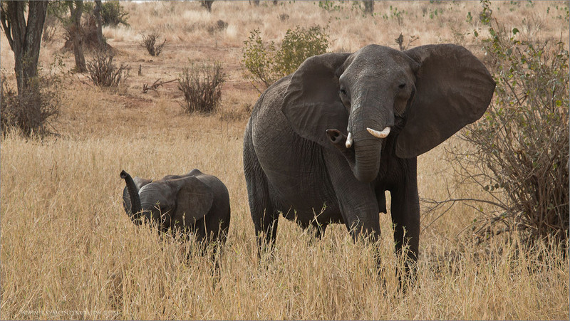 Elephants - Trunks Up<br /> RJB Tanzania, Africa Tours<br /> ray@raymondbarlow.com<br /> Canon EOS 70D ,Canon EF 28-200mm f/3.5-5.6<br /> 1/160s f/14.0 at 90.0mm iso320