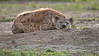 DSC_5991 Hyena Sleeping  1200 web