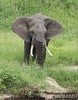 RAY_4079 Elephant in Tanzania 1200 web 700 x 900