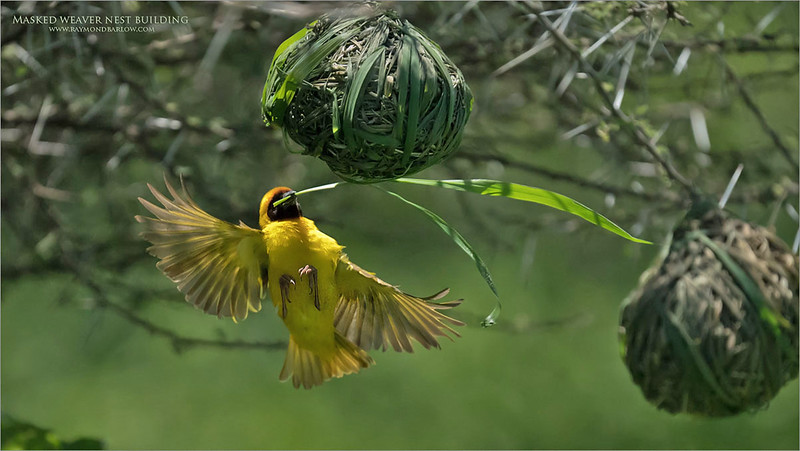 Nesting time!<br /> <br /> A Masked weaver looks to impress a female.<br /> <br /> Hosting a total of 3 nests at this location, he is busy freshening up the nests with new and green grasses to make things comfortable for the next brood. <br /> <br /> Thanks to my friend and guest Greg sparks for helping us get the timing just right on the approach!  Greg would count down the landing while we worked on making the capture!  Awesome!<br /> <br /> And again, so much fun!<br /> <br /> Looking forward to more!<br /> <br /> raymond