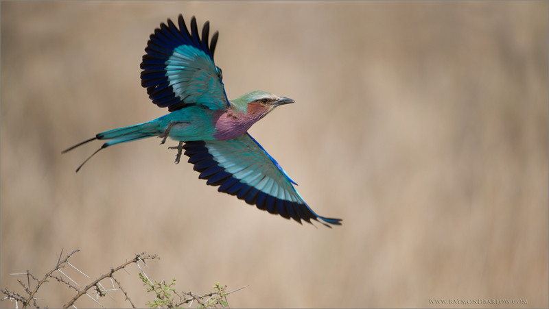 "Lift Off!!<br /> <br /> Waiting at least 10 minutes for this bird to take off was fun!  Which direction would it fly?  Being 100% ready every second is the key to success here, as this bird is very fast!<br /> <br /> The Lilac breasted roller hunts from low positions, so it can see bug fly overhead against the sky.  It will dart off the perch, race into the sky, and capture the prey!<br /> <br /> One of my top favourites, as this bird has wonderful colours.<br /> <br /> Raymond<br /> <br /> My next tour to Africa - pls click! <br /> <br /> <a href=""http://tinyurl.com/nnovq9a"">http://tinyurl.com/nnovq9a</a><br /> <br /> Lilac Breasted Roller<br /> RJB Tanzania, Africa Tours<br /> 1/1600s f/4.0 at 400.0mm iso200"