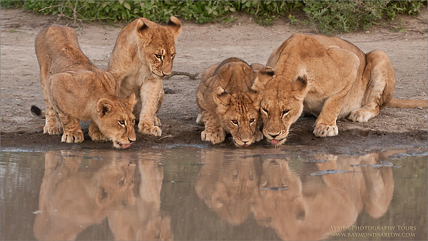 Tanzania Africa - Photography Tours with Raymond D300 - 200-400 mm   ray@raymondbarlow.com