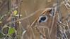 Kirks dik-dik (Madoqua kirkii)<br /> RJB Tanzania, Africa Tours<br /> <br /> ray@raymondbarlow.com<br /> Canon EOS 70D ,Swarovski Telescope STX 65mm x 25 1200 mm<br /> 1/160s iso320 f11.5