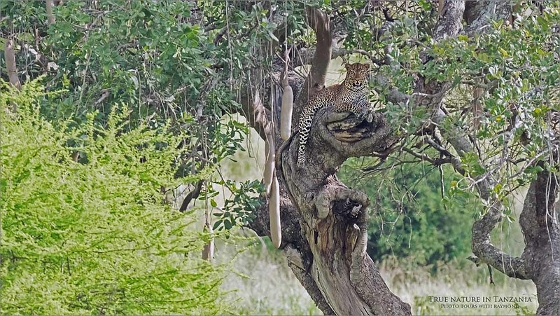A distant leopard, about 100 yards away poses nicely in a sausage tree, (Kigelia) within the Tarangire NP.  A beautiful animal combined with a very difficult shot.  <br /> <br /> We were very lucky to catch a clean view, and a nice smile form this amazing big cat!<br /> <br /> Would you be interested in a tour designed to see and photograph big cats making their kills?  Let me know!<br /> <br /> ray@raymondbarlow.com