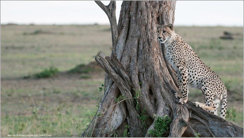 Cheetah in the North Serengeti