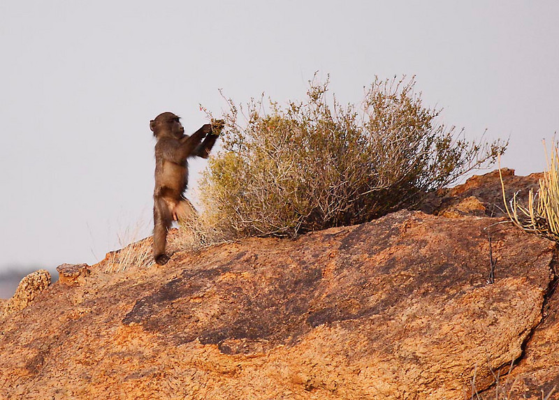 Young Chacma Baboon feeding in early morning, Augrabies Falls National Park.<br /> Aug. 18, 2009<br /> ©Peter Candido All Rights Reserved