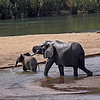 African Elephant female with calf