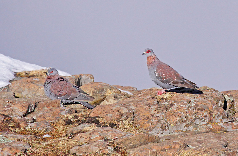Speckled Pigeons<br /> Sani Pass, Drakensberg Range<br /> Aug. 6, 2009<br /> ©Peter Candido All Rights Reserved