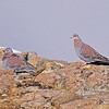 Speckled Pigeons<br /> Sani Pass, Drakensberg Range<br /> Aug. 6, 2009<br /> ©Peter Candido All Rights Reserved