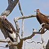 Lappet-faced Vultures: adult and immature
